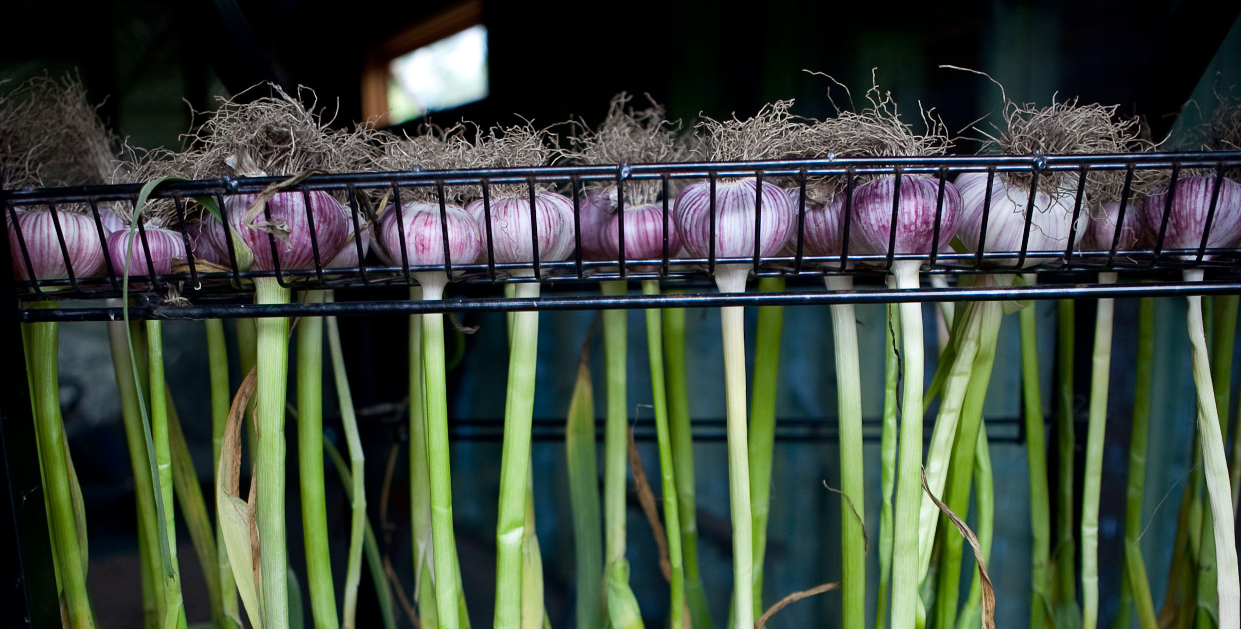 How and When to Harvest Garlic