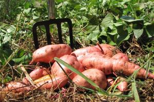 Sweet potato harvest in June in tropical Australia