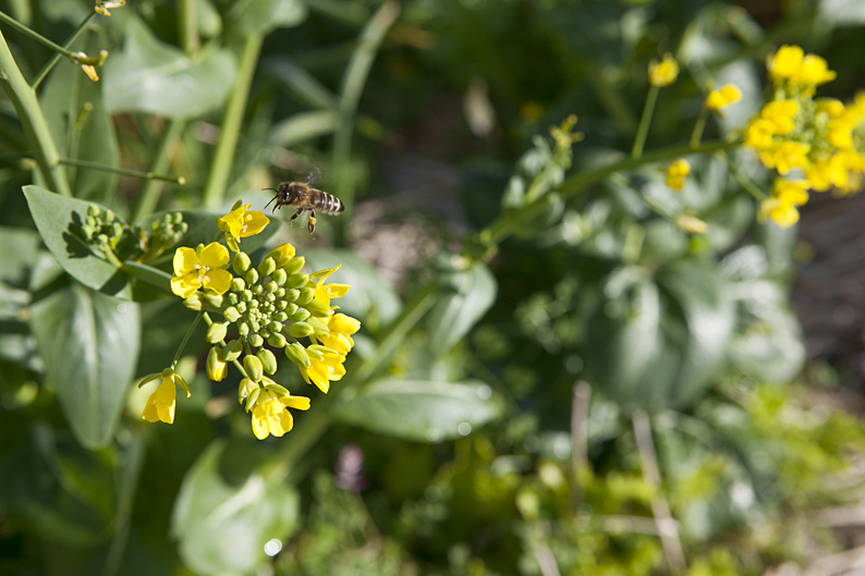Bees flying around bok choy in Australlia