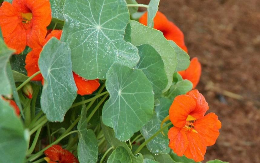 5 Edible Flowers To Grow In Your Garden nasturtium