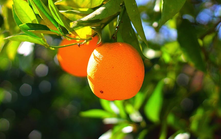 July garden guides citrus