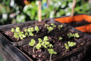 seedlings0004