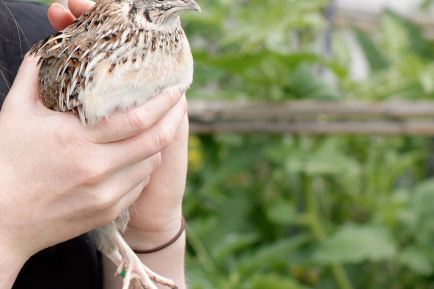 Pip Podcast #2: keeping quail with Kat Lavers