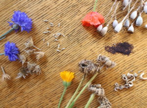 the flowers, seed pods and seeds of calendulas, cornflowers and poppies