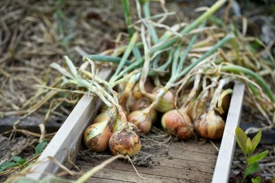 How to Start Growing Onions