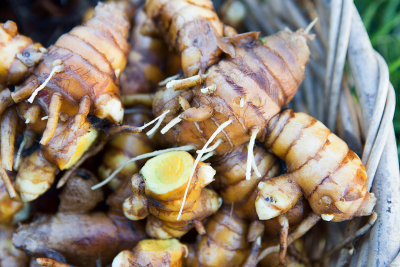 Growing and Harvesting Turmeric