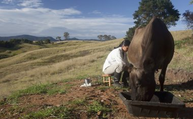 Pip Permaculture Podcast # 14: Keeping a House Cow