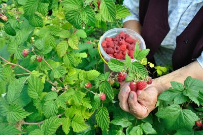 Growing and Planting Raspberries