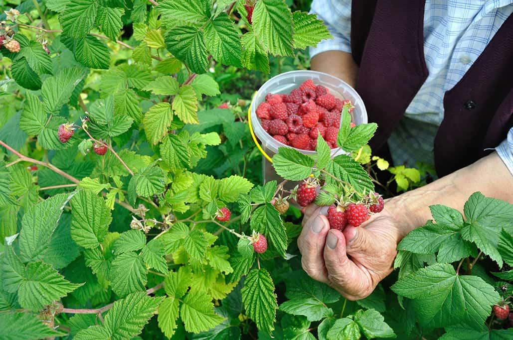 Harvesting rasberries