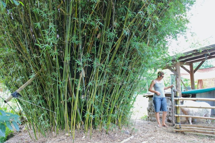 How to: Plant and Grow Bamboo