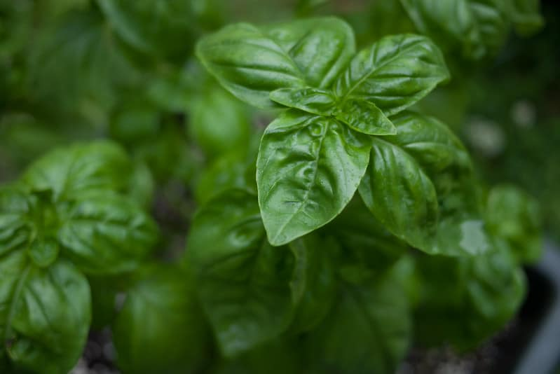 DIY-gift-from-the-garden-basil-photo-by-Nate-Steiner
