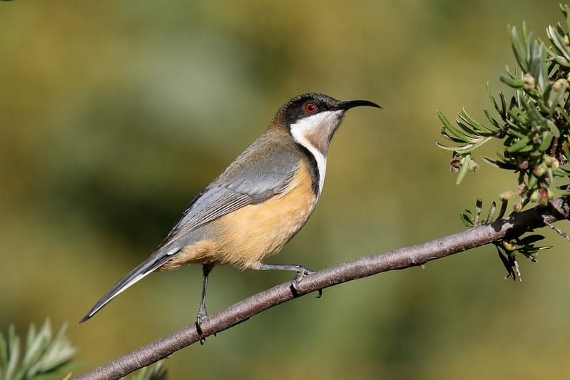 Eastern Spinebill by Patrick Kavanagh via Flickr