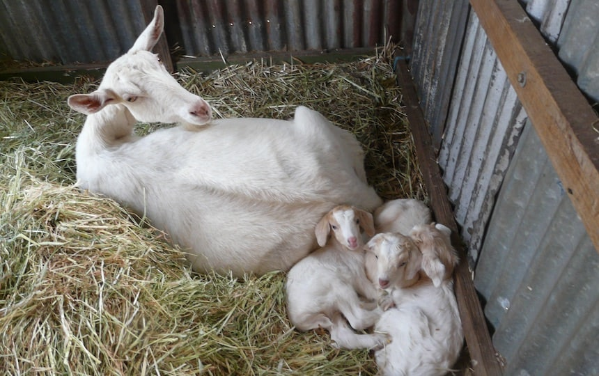 mother goat with her kids