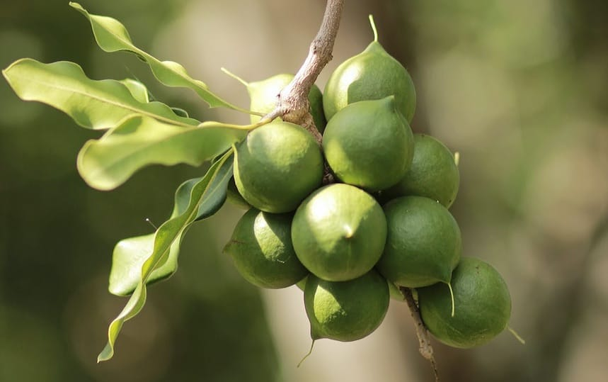 5 Bush Tucker Plants To Grow In Your Backyard macadamias