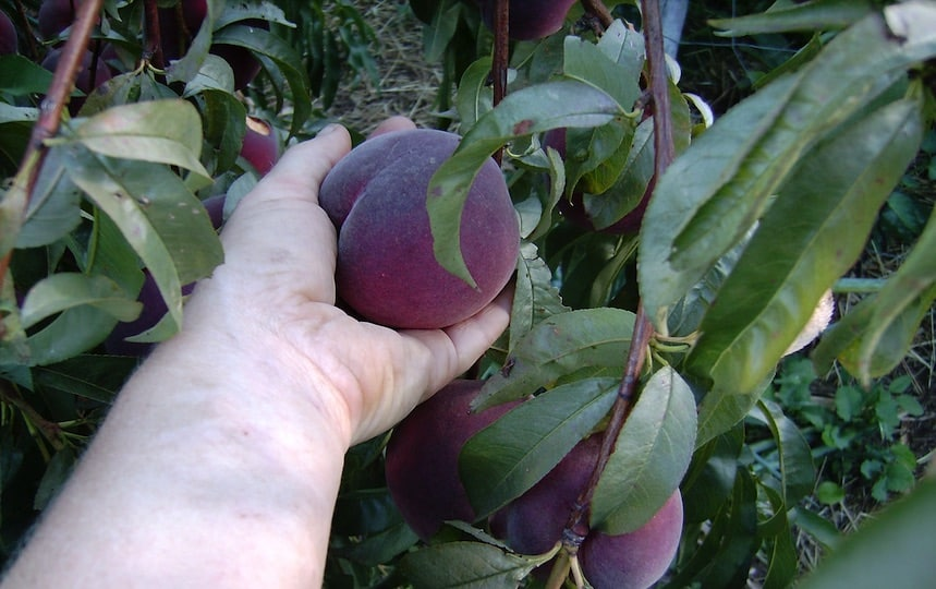 peaches off the fruit tree